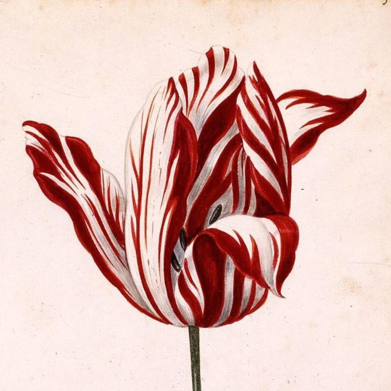 Tulpenkrise: Die absurdeste Spekulationsblase der Geschichte