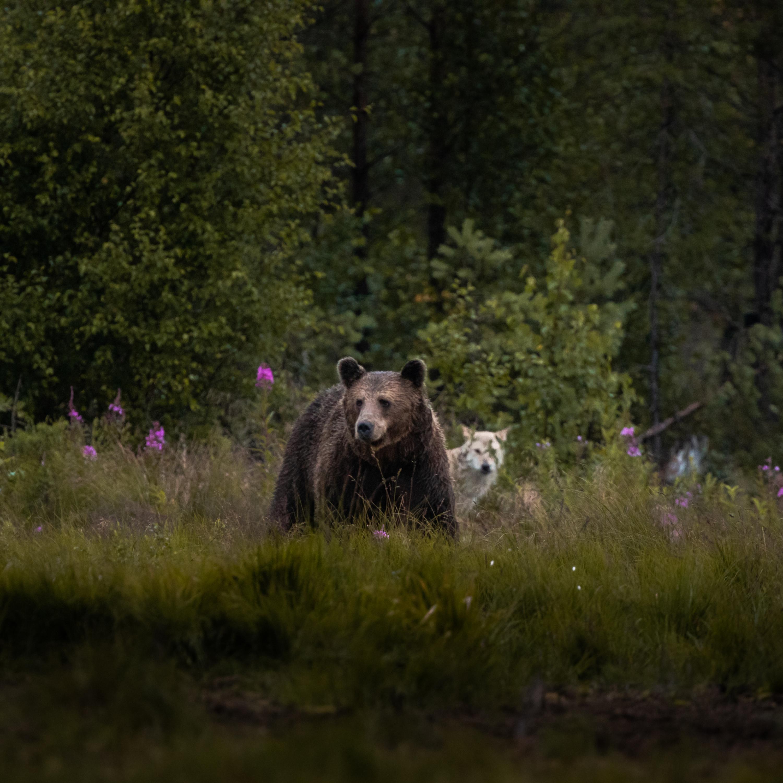 #2 Braunbären,Wölfe und eine Nacht in der finnischen Wildnis.
