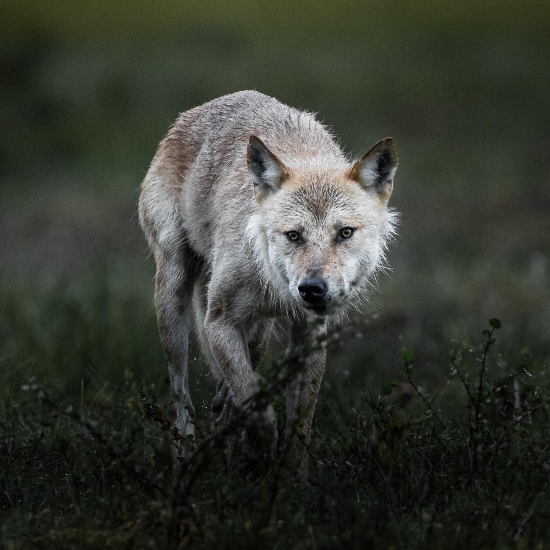 #8 Der böse Wolf, Spurensuche und eine wunderbare Chance in der Zukunft.