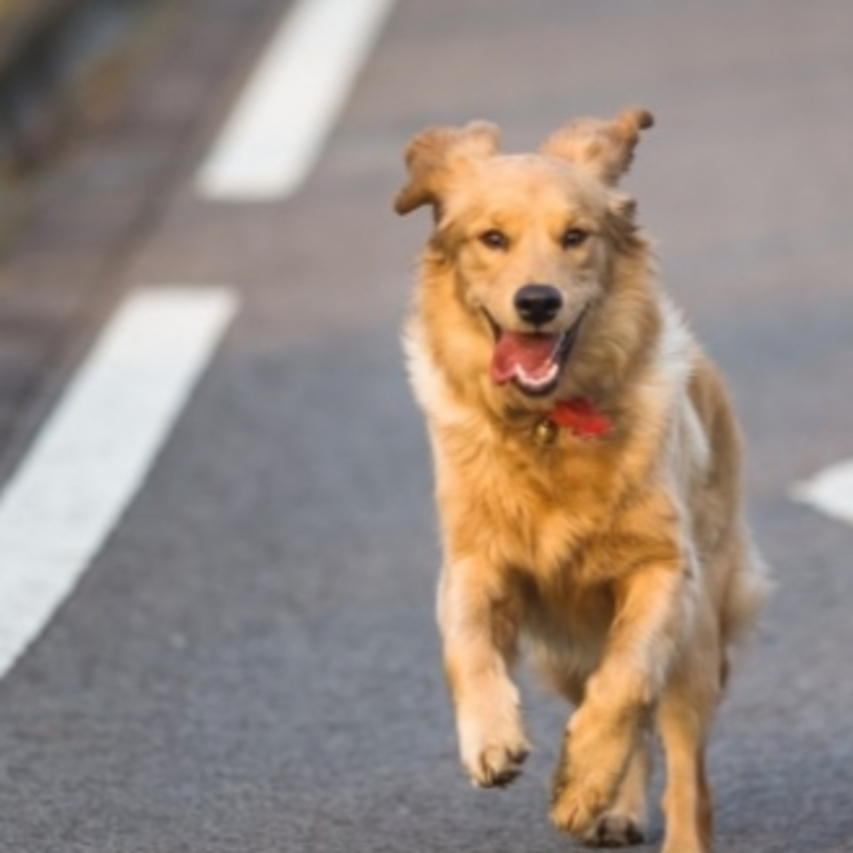 O que pode acontecer com meu animal sozinho na rua?