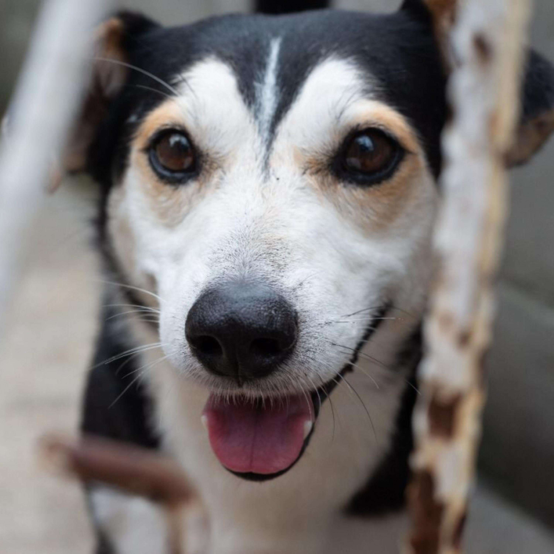 Gravidez psicológica canina: saiba o que é e porque acontece