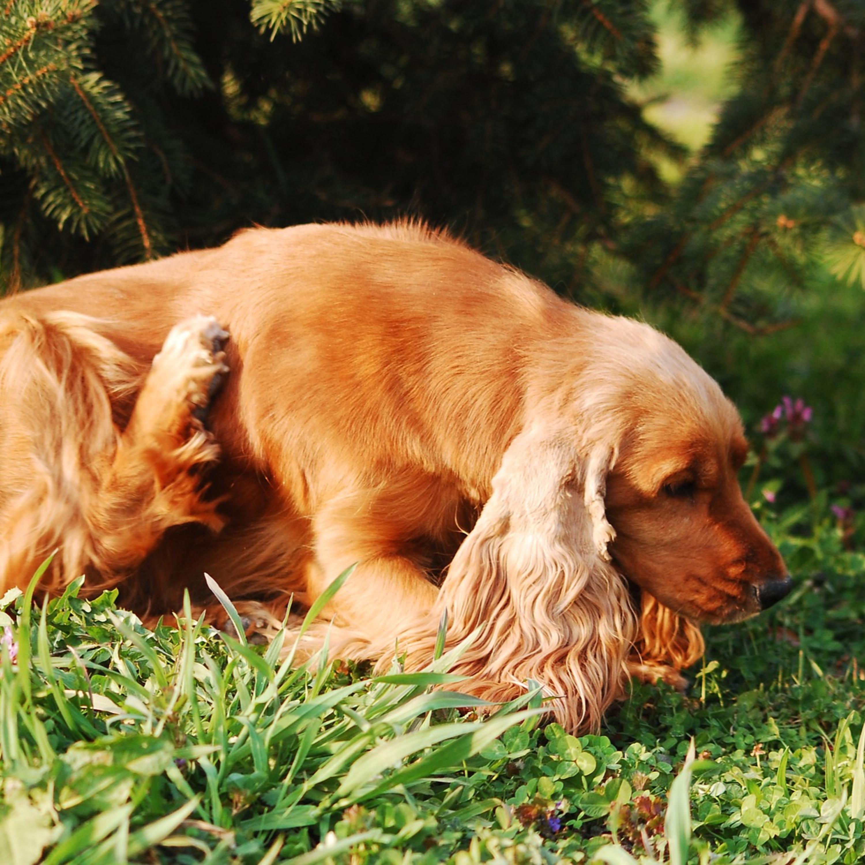 Atenção com a coceira persistente nos cães e raças mais atingidas por alergias