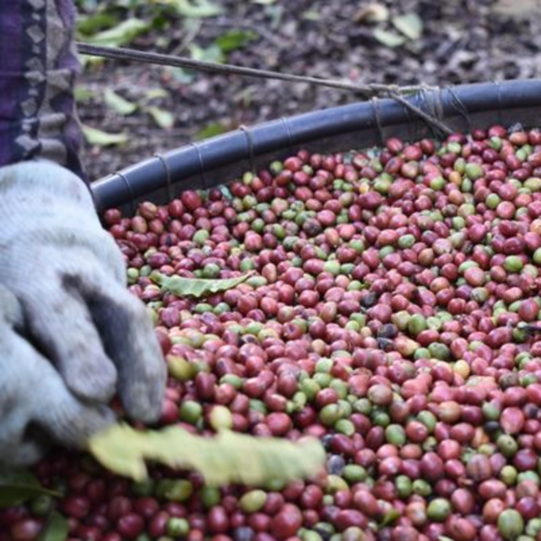 Do grão à xícara: plataforma capixaba rastreia a produção de café