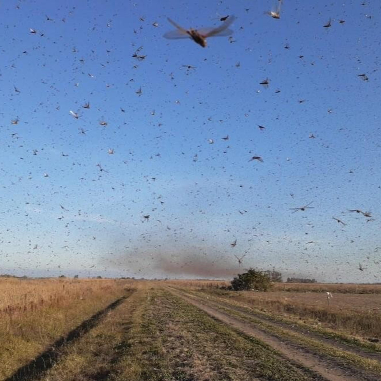 Nuvem de gafanhotos volta a preocupar agricultura brasileira