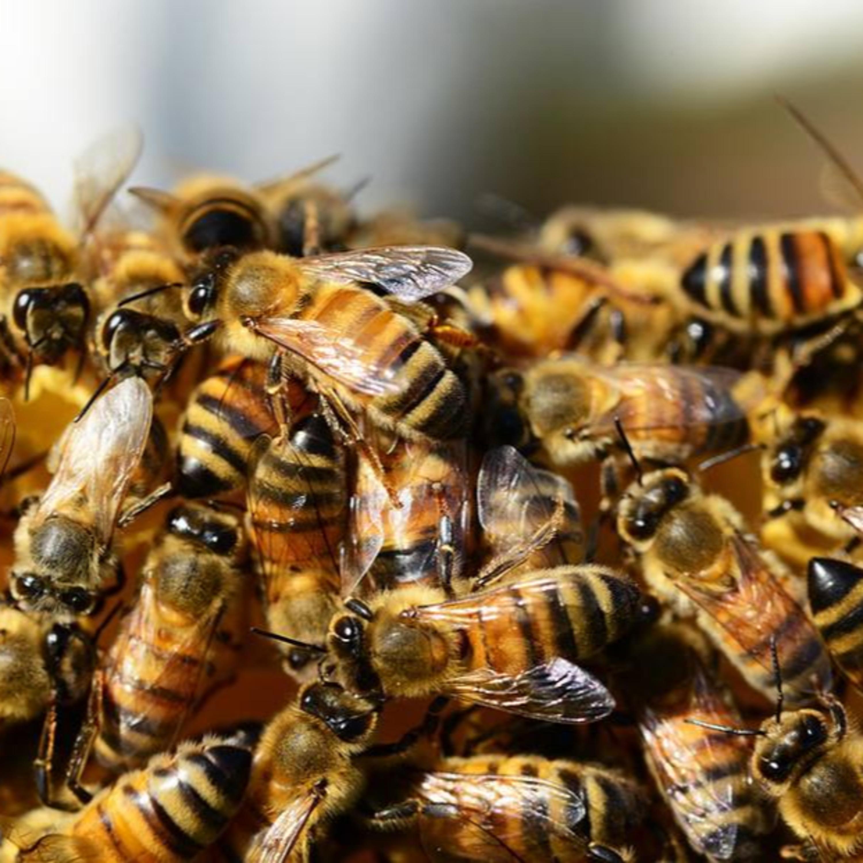 O que fazer em caso de picada de abelhas? Ouça as dicas!