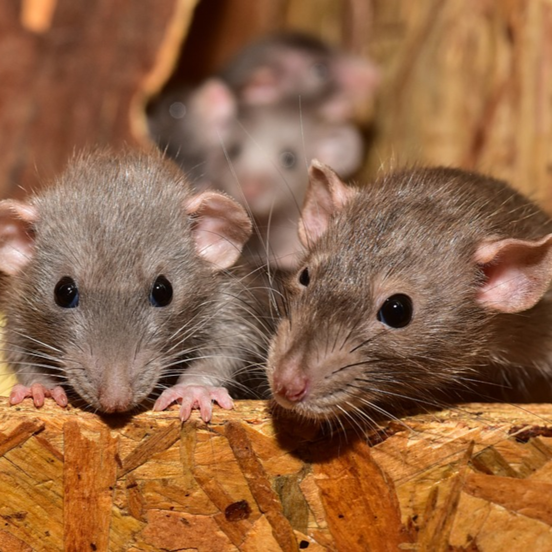 Como evitar a infestação de ratos no seu bairro: ouça as dicas!