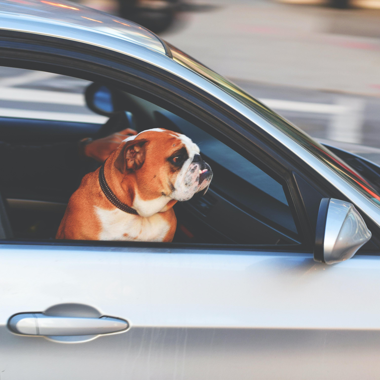 Levar cachorro solto no carro dá multa? Saiba como transportar o pet com segurança