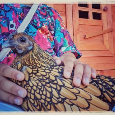 Sebright chickens- They are rare !