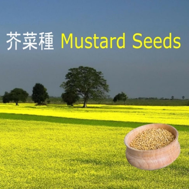 芥菜種 Mustard Seeds