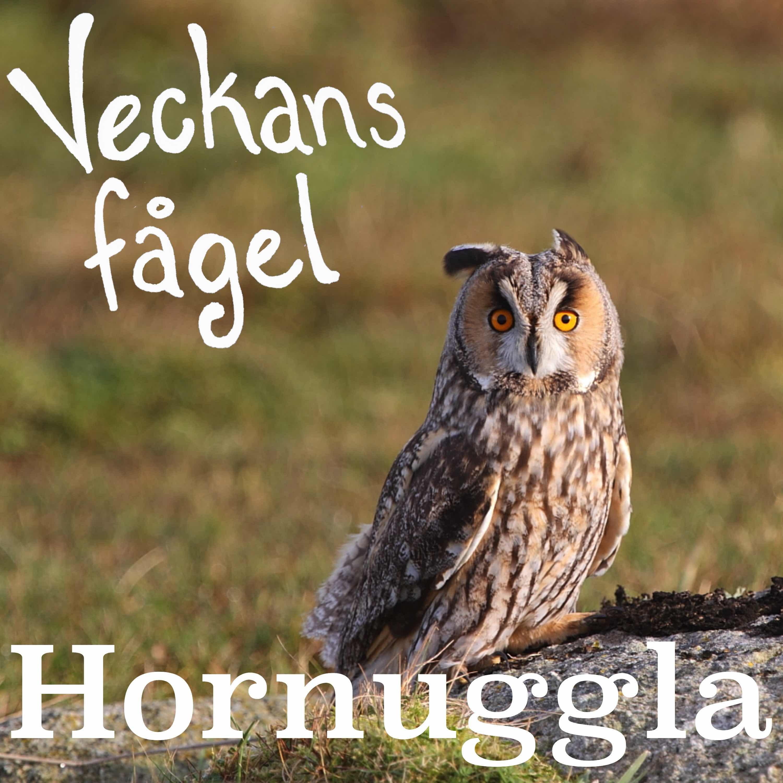 Hornuggla